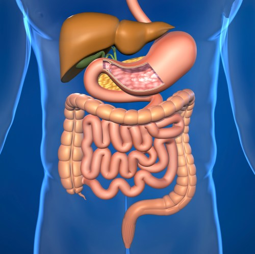 small resolution of human digestive system