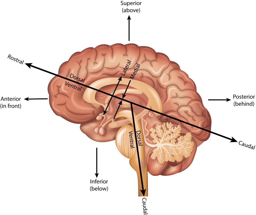 hight resolution of ventral location terminology relating to the underside or toward the surface of the chest or bottom of the head
