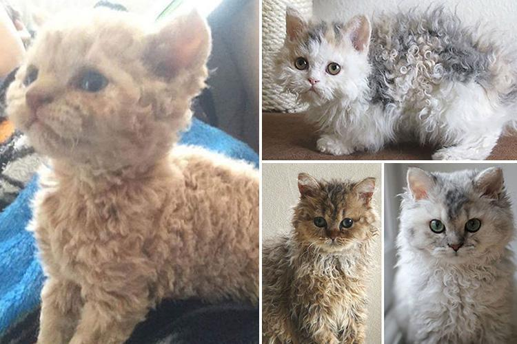 curly-haired cats