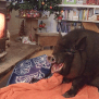 Adorable Orkney Pig Laughs It Up In Front Of The Fire As