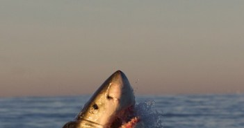 Great White Breaching The Surface