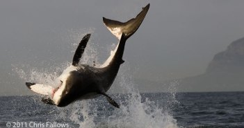 Great White Breaching for Decoy