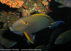 Eye-stripe surgeonfish, Colesseum