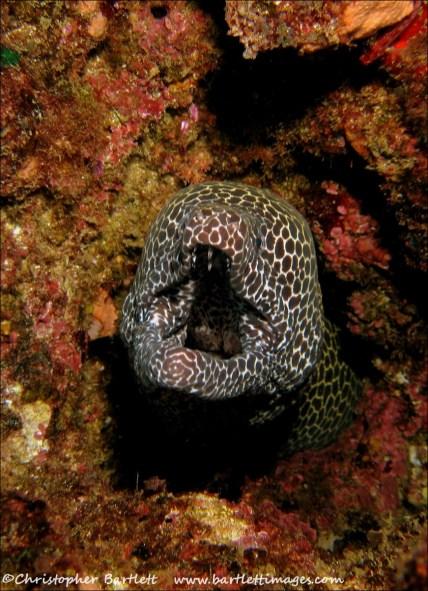 Hungry honeycomb moray