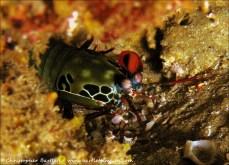 Peacock mantis shrimp peeks out