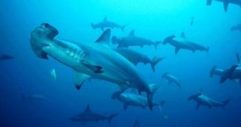Hammerhead Sharks at The Scuba News
