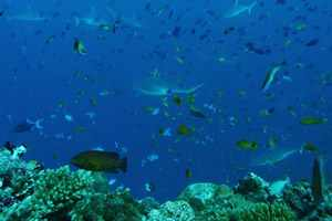 Scuba Diving Maldives at The Scuba News