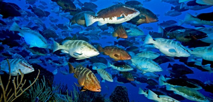 Nassau grouper aggregation off the west end of Little Cayman. Photo by Paul Humann.