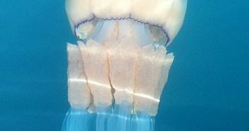 Rhizostoma - Barrell Jellyfish