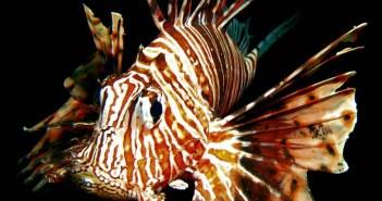 The Lionfish Dilemma