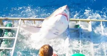 guadalupe-shark-breach
