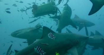 shark-dive-chantelle