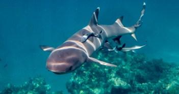 shark-snorkel