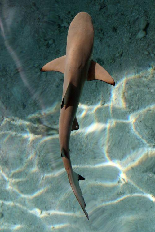 Shark Institute