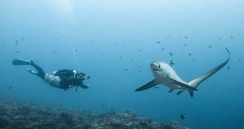A diver swims with a thresher shark at Monad Shoal