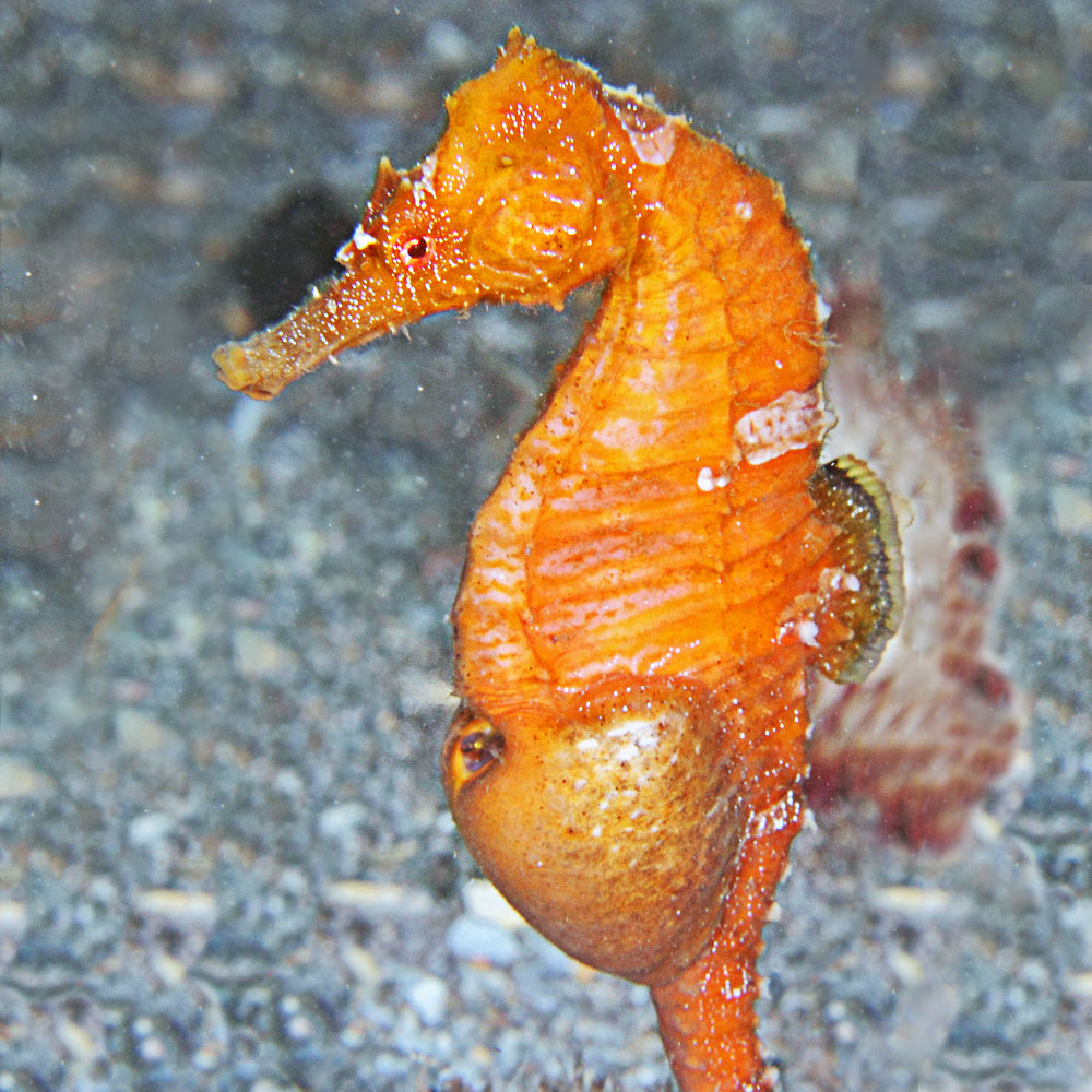 save our seahorses the