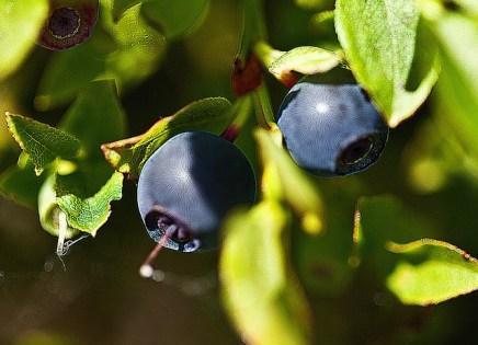 fruit bushes