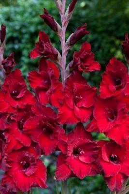 Gladioli Scarlet Blooms