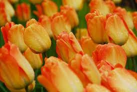 Tulips 'Day Dream'
