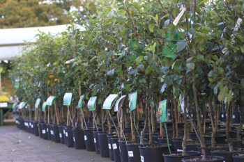 fruit trees now in