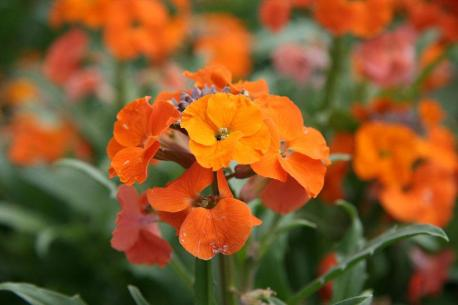 plant wallflowers