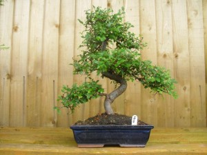 These compact trees are ideal for small homes or the plant enthusiast. From £11.99