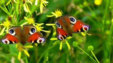 Attact the Butterflies