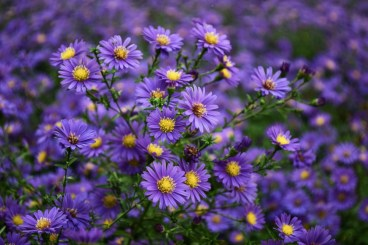Asters are affectionately known as September for obvious reasions