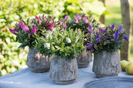 Hebes look great in pots too.