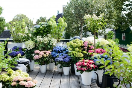 Hydrangeas add a bold colour to any border or patio pot.