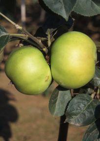 Apple Bountiful