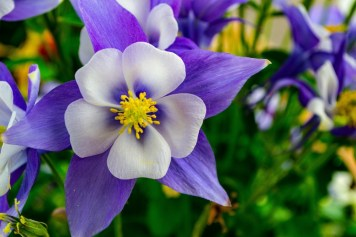 Aquilegia are great for the bees and will self seed
