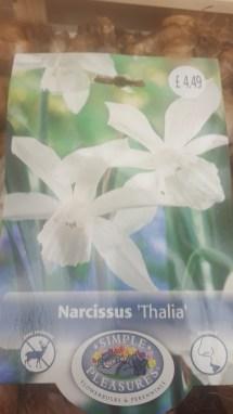 Narcissus Tahlia