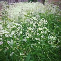 Alyssum- Carpet of Snow seeds | TheSeedCollection