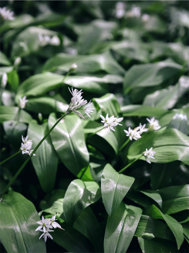 Recipe | Wild garlic frittata | These Four Walls blog