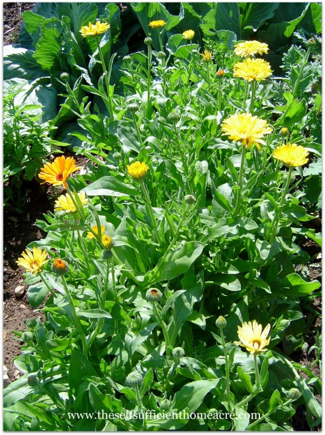 Calendula or pot marigold adds color to herbal tea.
