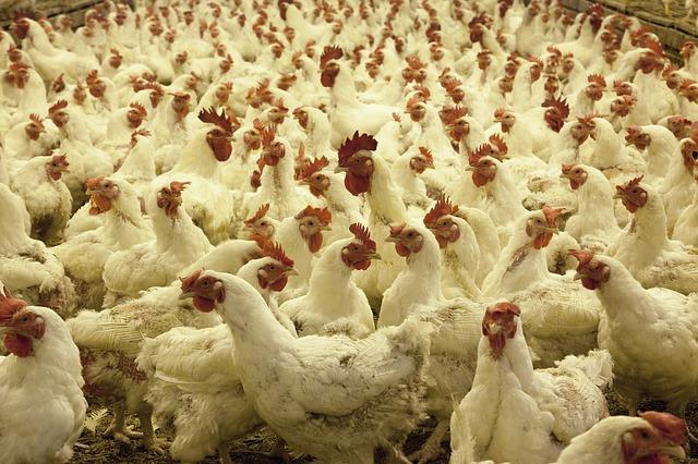 Cornish x chicken flock