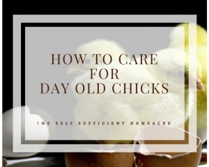 How to Care for Day Old Chicks - The Self Sufficient HomeAcre