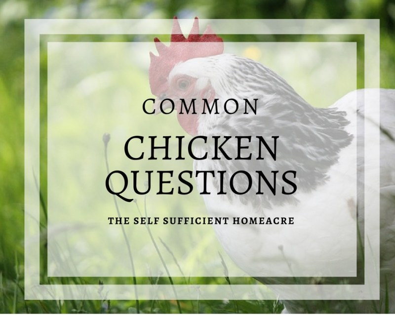 Common Chicken Questions - The Self Sufficient HomeAcre