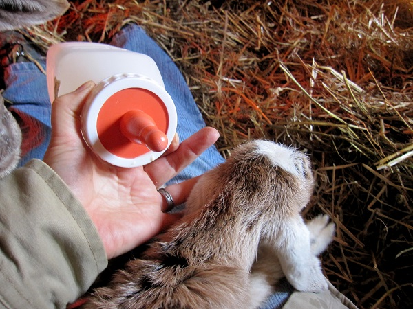 Bottle Feeding Baby Goats The Self Sufficient Homeacre
