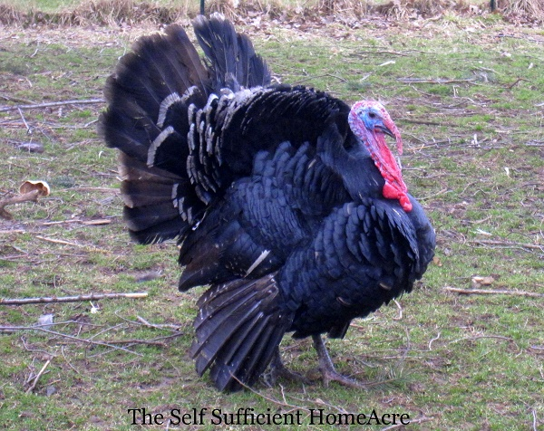 Turkey Troubles - The Self Sufficient HomeAcre