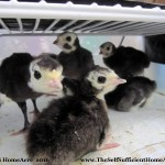 Hatching Heritage Turkey Poults