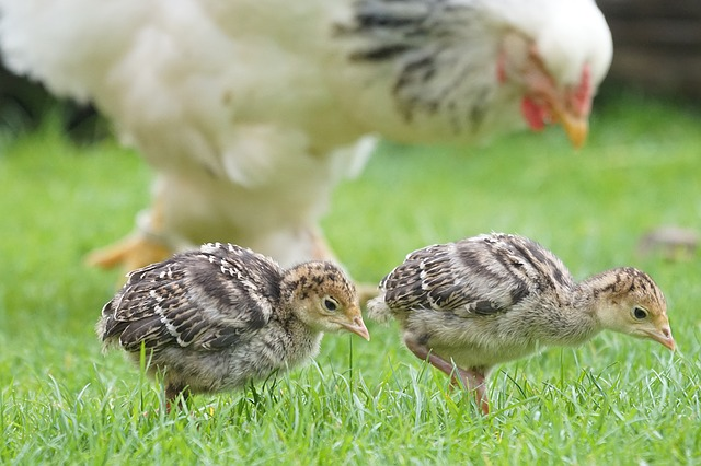 Baby turkey poults on pasture