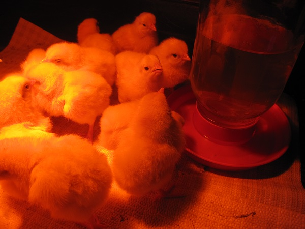 Baby chicks getting a drink of water