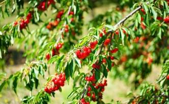 Sour Cherry trees