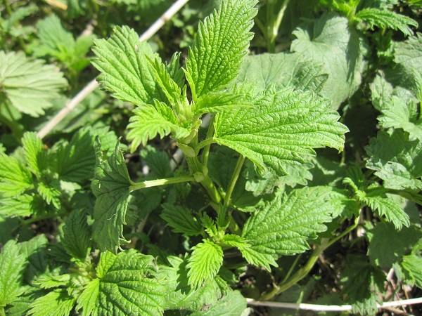 Stinging Nettle plants in early spring