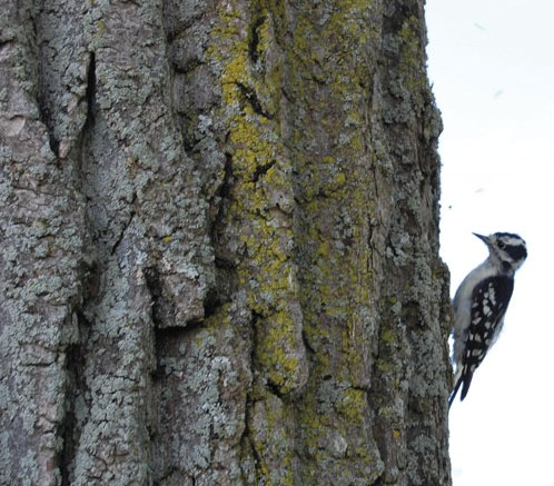 Tap artist: A Downy woodpecker spotted in Lachine this summer.