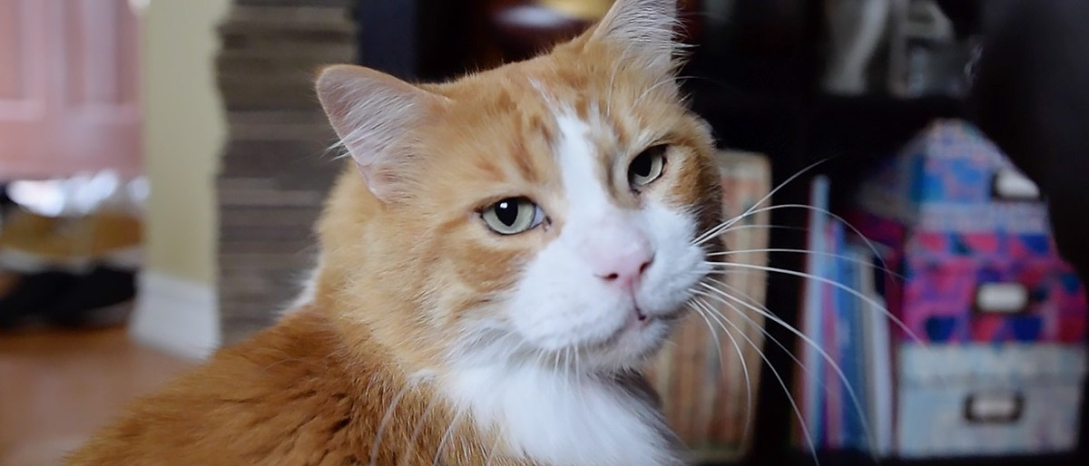 Permalink to: Should You Adopt an Older Cat?