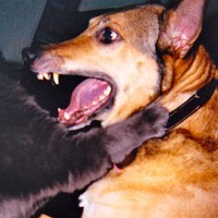 introducing cat to a dog