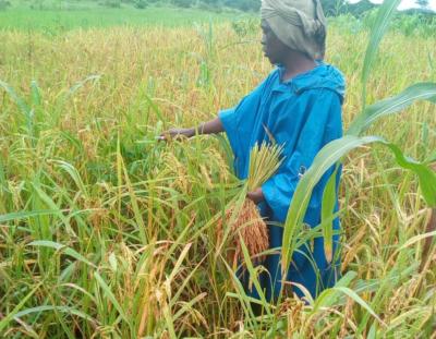 Madam Hawa Bangali Kallon rice farm2